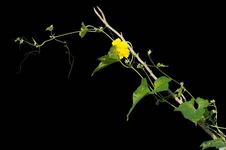 vine plants isolate on black background. clipping path
