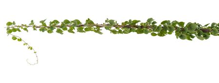 Vine plant, Nature Ivy leaves plant isolated on white background, clipping path included. Stock Photo