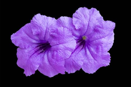 Violet purple flower isolated on black background. clipping path
