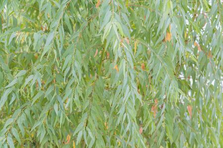Eucalyptus leaves. branch eucalyptus tree nature background Stock Photo