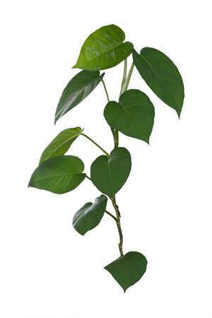 Foliage, The leaves are heart-shaped isolated on white background, clipping path included.