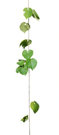 vine plants isolate on white background. clipping path Stock Photo