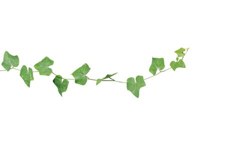 vine plants isolate on white background. clipping path Standard-Bild