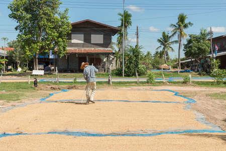 Paddy seed jasmine rice in outdoor. Thai farmer dry paddy jasmine rice on ground under strong sunlight . Editorial