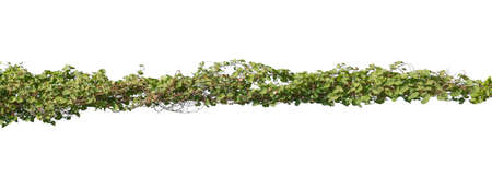 Plants ivy. Vines on poles on white background, Clipping path Stock fotó