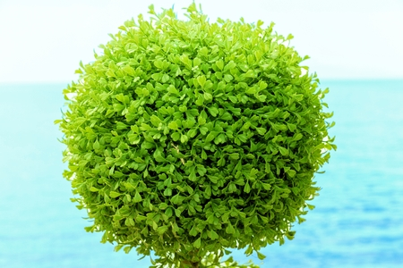 ornamental bush: Green bush again sea background