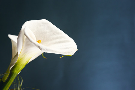 White calla, isolated on blue background. Stock Photo