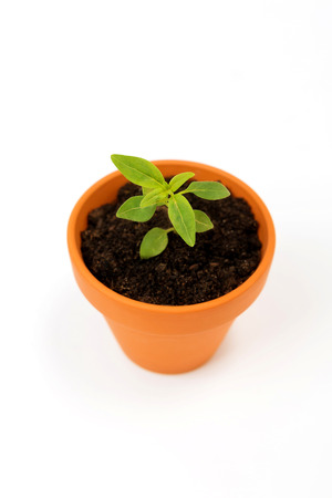 Isolated green sprout inside small flower pot,on white background.