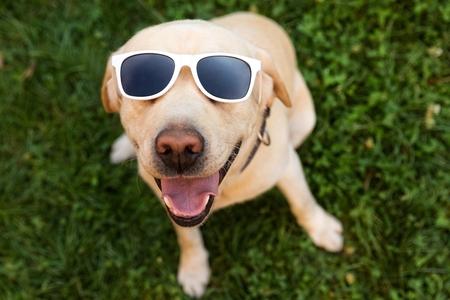 jovem: cão Labrador masculino feliz branco, usando óculos escuros brancos.