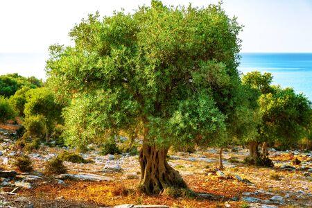 Colorful olive tree against Mediterranean sea at sunrise. Banco de Imagens