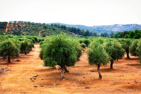Colorful Greek olive trees plantation during summer. Banco de Imagens - 128572466