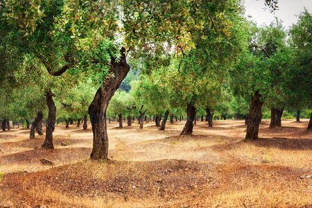 The olives farm. Olives tree plantation. Banco de Imagens