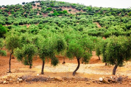 Front view of mediterranean olives tree farm.