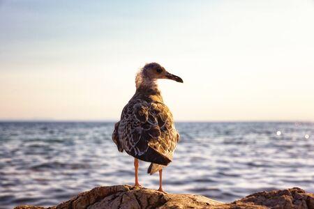 Shearwater bird against mediterranean sea horizon. Banco de Imagens - 128572557