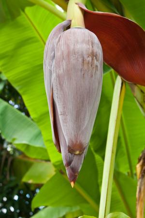 banana blossom on tree in the garden photo