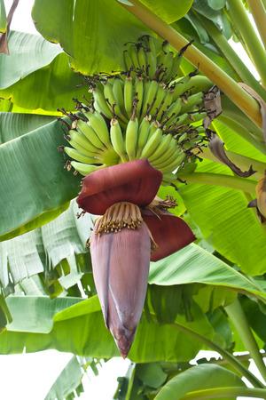 banana blossom on tree in the garden