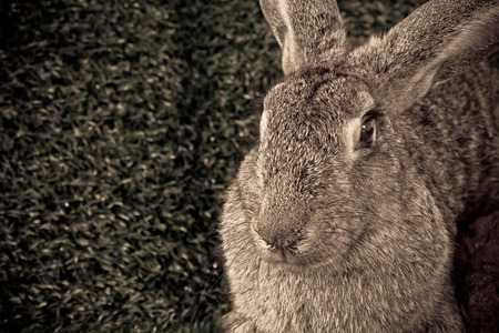 The flemish giant rabbit on the grass  Stock Photo