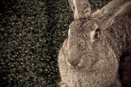 flemish: The flemish giant rabbit on the grass  Stock Photo
