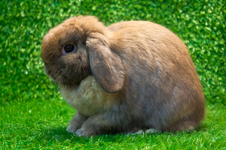 holland lop rabbit pose on the grass background photo