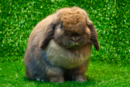 holland lop rabbit pose on the grass  photo