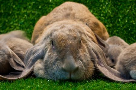 English lop rabbit pose on the grass  Zdjęcie Seryjne