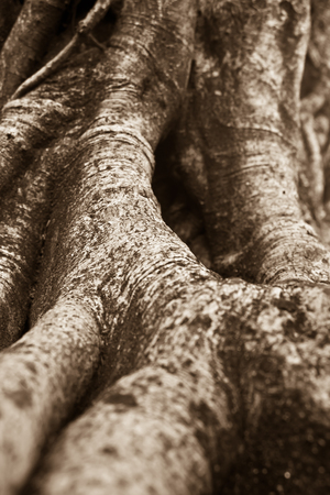 the root of banyan tree, the tropical plant