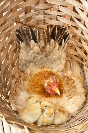 brooder: the chicken brood in the bamboo basket
