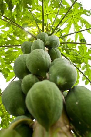 Carica papaya Linn  or papaya, dicotyledon and annual plant photo