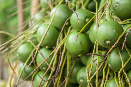 Betel palm or Betel nut or Areca catechu photo