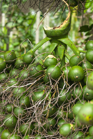 Betel palm or Betel nut or Areca catechu photo
