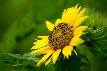 Dwarf Sunflower or Helianthus annuus L. Dwarf Sungold in the garden