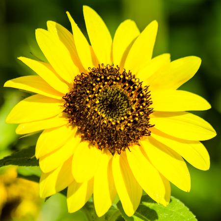 helianthus annuus: Dwarf Sunflower or Helianthus annuus L. Dwarf Sungold in the garden