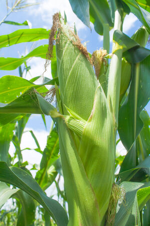 zea mays: Zea mays Linn. , Sweet corn in the field