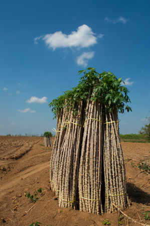 tuberous: The cassava farm at the countryside of Thailand Stock Photo