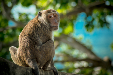 long tail: crab eating macaque monkey or long tail monkey