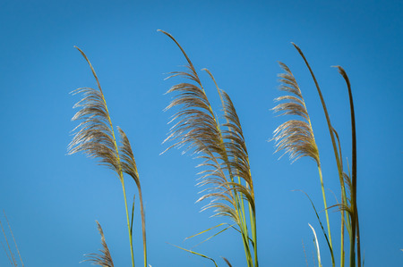 reed stem: The tropical grass and blue sky background Stock Photo