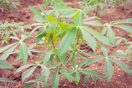 starchy food: The cassava farm at the countryside of Thailand Stock Photo
