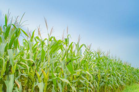 Zea mays Linn. , Sweet corn in the field