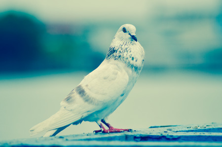 Pigeon or domestic pigeon or Columba livia domestica or rock dove or rock pigeon cling on Iron rail Standard-Bild