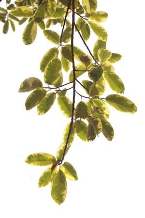 green leaf Stock Photo - 13184665