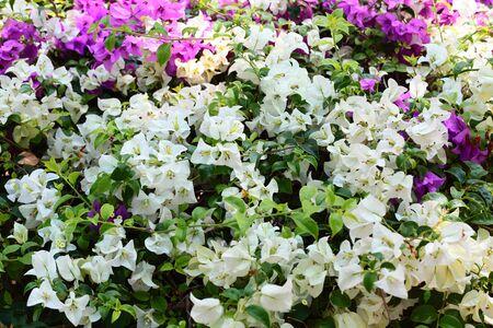 Fuengfah flowers Stock Photo