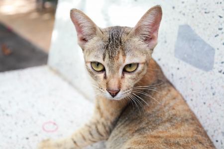 eye of Thai cat