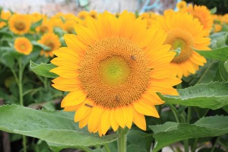 bee in sunflower