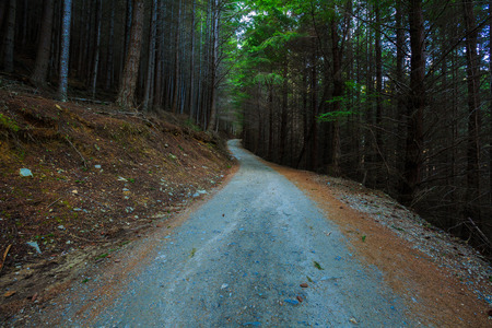 Pine forest in Gondola Skyline walking track in late Winter photo