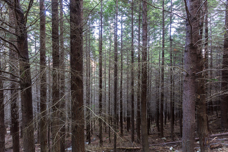 Pine forest in Gondola Skyline walking track in late Winter from ant photo
