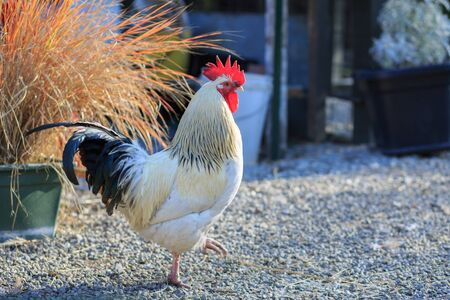 freelance: rooster walink in freelance farm Stock Photo