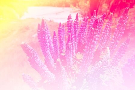 lupines: Lupines in Vintage colour tone made with color filter Stock Photo
