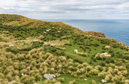 new zealand flax: image of Flocks of sheep graze in the fields with spectacular ocean views Stock Photo