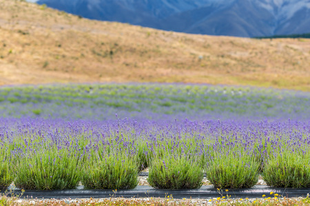 countryside landscape: lavender field on the way to Mt Cook National Park New Zealand Stock Photo