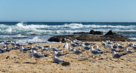 homing: Wild pigeons at the beach with sea in background. Catlins New Zealand